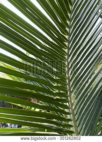 Beautiful Nature Background. Palm Leaf Texture. Abstract Textured Backdrop. Green Palm Tree Leaf Tex