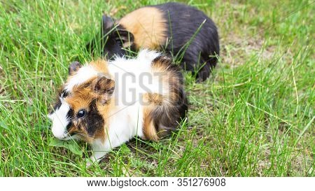 Guinea Pig. Two Guinea Pigs Guinea Pig Sitting In The Green Grass. Copyspace