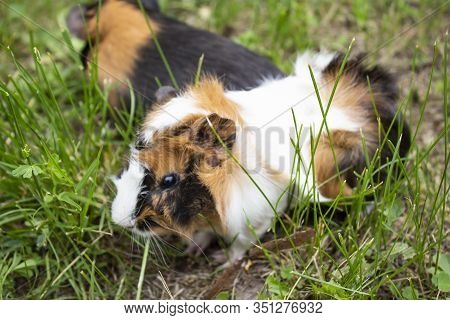 Guinea Pig. Two Guinea Pigs Guinea Pig Sitting In The Green Grass. Pig Look At The Camera. Copyspace