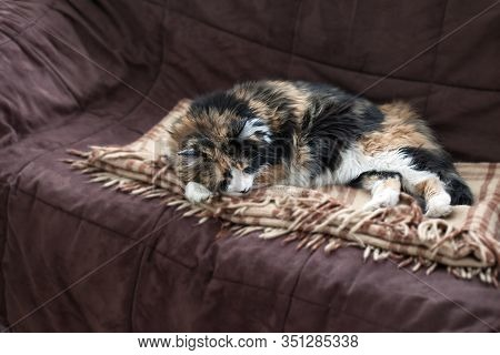 Fluffy Maine Coon And  Red Doll Cross-bred Cat Resting In Love Sofa