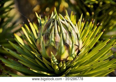 The Bulb Of A Young Joshua Tree Bloom