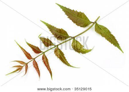 Tender medicinal neem leaves