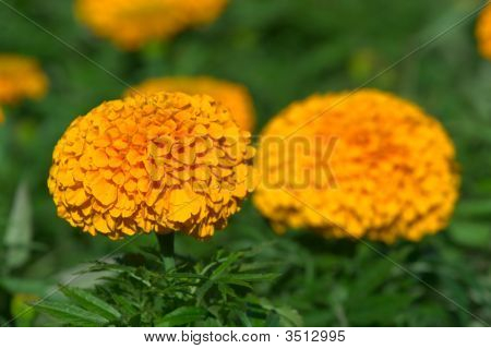 Two Orange Marigold Flowers