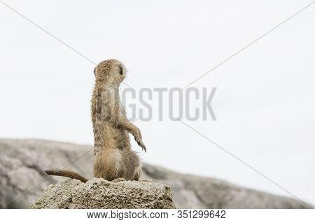 Standing Meerkat, Suricate, Suricata Suricatta, Looking Behind; Specimen In Captivity