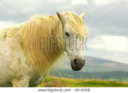 close up of white pony standing in fields on dartmoor poster