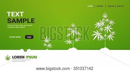 Cycle Of Cannabis Plant Growth Stages Planting Of Medical Marijuana Hemp Plantation Industry Concept