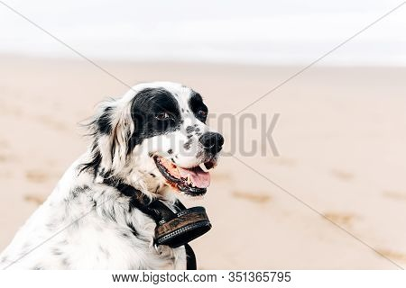 English Setter On The Beach. Outdoor Time And Doggy Friend Concept.