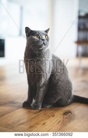 British cat sitting on the wooden floor at home. British shorthair breed