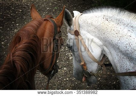 Portrait Of Two Horses Nose To Nose. Portrait Of Brown And White Horses In Love Nose To Nose Sniffin