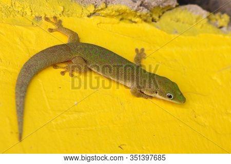 Green Day Gecko Phelsuma Dubia In Zanzibar Island