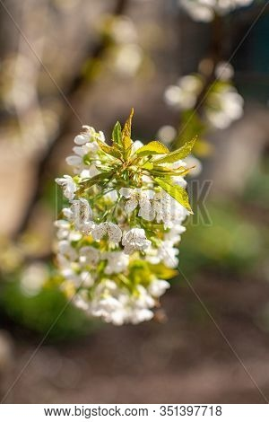 Bird Cherry Blossoms Flowers In Spring. Spring Blossom Flowers Of Bird Cherry Tree. Spring Bird Cher