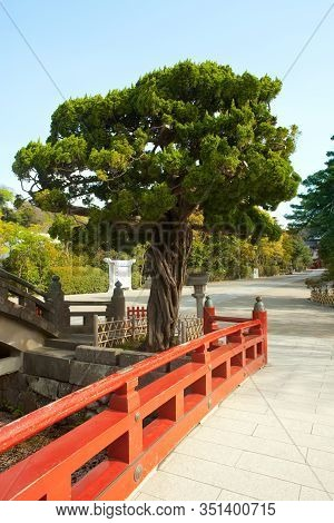 Tree At The Entrance To Tsurugaoka Hachimangu Shrine, Kamakura, Kanagawa Prefecture, Greater Tokyo A