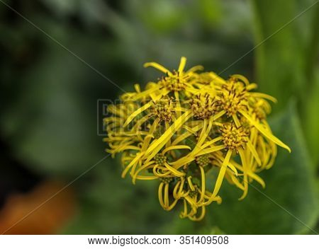 Ligularia Amplexicaulis Flowers Are Found In Valley Of Flowers   From Mid July To Mid August.the Ste