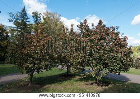 Medium Sized Sorbus Aria Trees With Berries In October