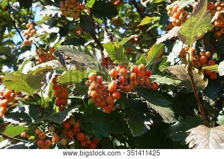Orange Berries In The Leafage Of Sorbus Aria In September
