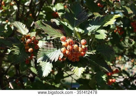 Yellowish Orange Berries In The Leafage Of Sorbus Aria In September