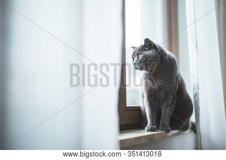 British cat looking through the window sitting on the sill. British shorthair breed