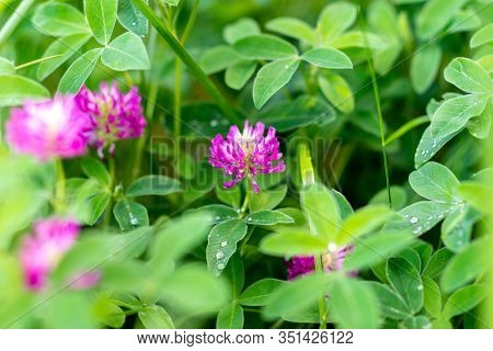Background Texture Of A Blooming Wild Flower Clover. Image Of Field Red Flower Clover