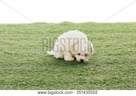 Cute Havanese Puppy Smelling Grass Isolated On White