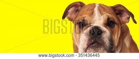 funny english bulldog puppy looking at the camera on yellow backgrouond