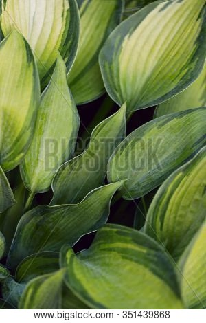 Blurry Natural Floral Background. Green Texture Background With White Leaves Of Hosta. Beautiful Cor