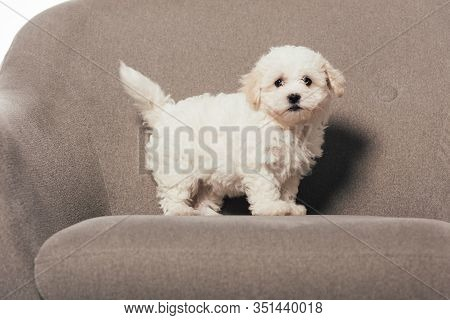 Cute And White Havanese Puppy Standing On Armchair