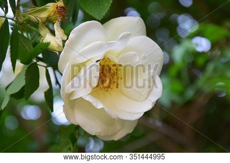 Macro Photo With A Blooming White Rosehip Flower On A Blurred Background With Bokeh