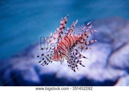 Luna Lionfish (pterois Lunulata). Luna Lion Fish Swimming In The Blue Water. Soft Focus, Selective F
