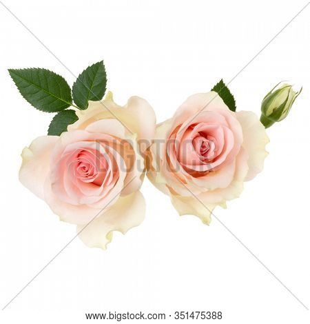 two pink roses isolated over white background closeup. Rose flower bouquet in air, without shadow. Top view, flat lay.