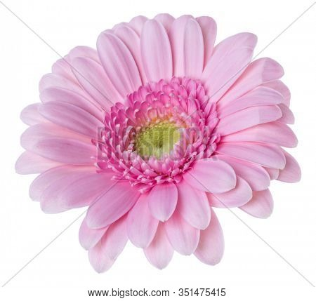 pink gerbera flower head isolated over white background closeup. Gerbera in air, without shadow. Top view, flat lay.