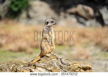 The Meerkat, Suricata Suricatta Or Suricate Is A Small Carnivoran In The Mongoose Family. It Is The