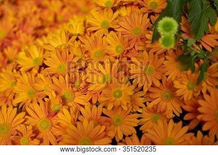 Decorative Composition Of Orange Chrysanthemum Flowers, Autumn Bouquet. Orange Chrysanthemum In Leaf