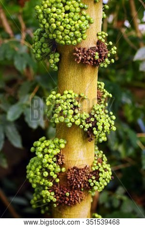 An Unspecified Species Of Fig Tree.ficus Is A Genus Of About 850 Species Of Woody.