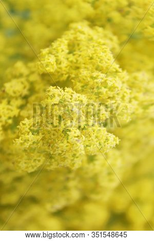 Blurry Nature Background. Blurrred Shot Of Yellow Flowers. Nature Texture Background.