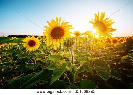 Summer scene with bright yellow sunflowers on a sunny day. Location place of Ukraine, Europe. Blooming field close up. Photo of ecology concept. Agrarian industry. Perfect wallpaper. Beauty of earth.