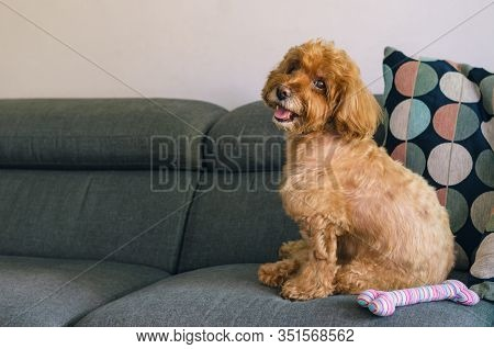 An Adorable Brown Poodle Dog Sitting On Sofa With The Toy When Relaxing At Home.