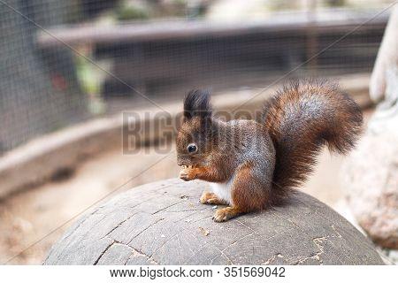 The Squirrel Nibbles Acorn. Portrait Of A Squirrel Close
