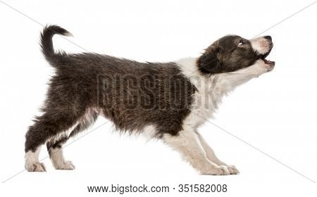Border Collie puppy barking, isolated on white