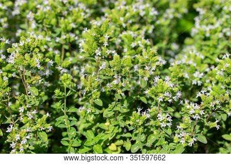 Oregano Blossom, Backdrop Wallpaper Background. Green Bright Sunny Twigs Of Blooming Oregano, Blue V
