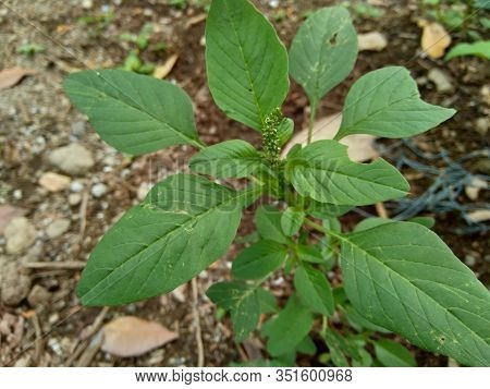 Spiny Amaranth, Spiny Pigweed, Prickly Amaranth Or Thorny Amaranth (amaranthus Spinosus) Is The Spik