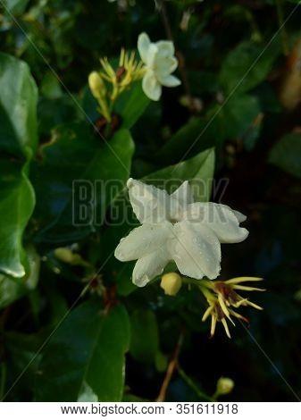 Close Up Isolated Jasmine Flower (jasminum Sambac) On The Tree