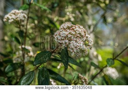 A White Ball Shaped Verbena Flower In Bloom On A Bush Closeup With Little Flowerets On A Bright Sunn