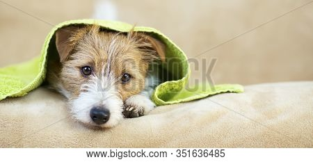 Pet Grooming Concept, Web Banner Of A Furry Happy Jack Russell Dog Puppy With Towel After Bath, Show