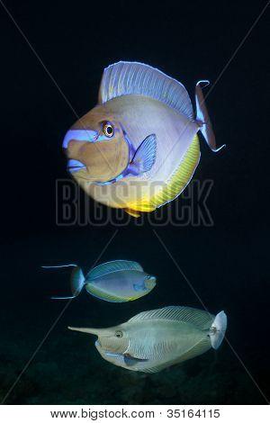 Unicorn Fishes, Maldives