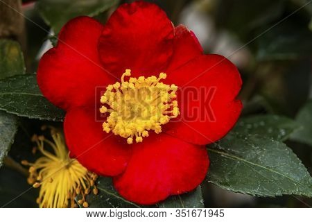 Red Yellow Camellia Yuletide Sasanqua Blooming Macro. Camellia Common To China And Japan