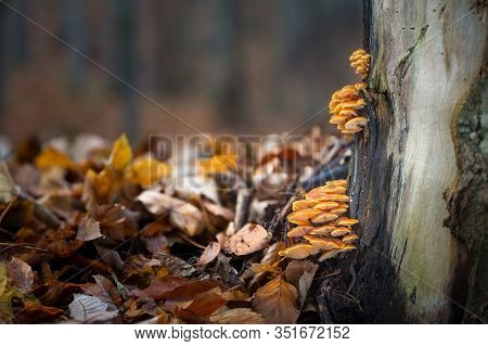 Edible Fungus Flammulina  Which Grows On Tree Trunks.
