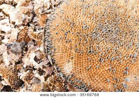 Sunflower Dry Background