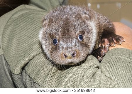 Orphaned European Otter Baby In The Hand Of His Zookeeper