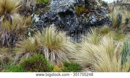 Typical Of Andean Plants And Dominant Plant In The Grass Paramo - Calamagrostis Intermedia  (pajonal