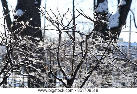 Snow Covered Tree Branches Close Up At Sunny Winter Day.